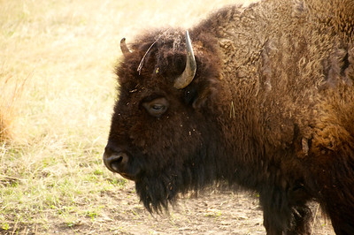Hello Handsome... Custer State Park, SD